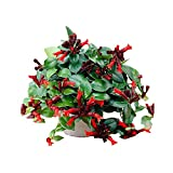 "Mona Lisa Lipstick Plant 4"" Pot - Aeschynanthus - Easy to Grow"