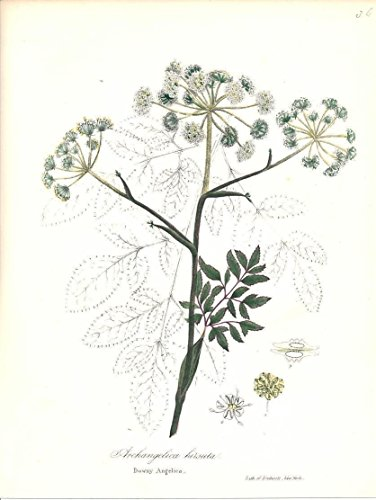 Downy Angelica c.1843 lovely color floral ()