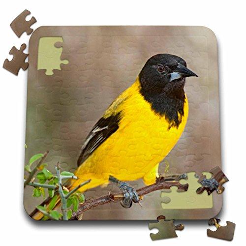 3dRose Danita Delimont - Birds - USA Texas Santa Clara Ranch, Audubons Oriole Bird - US44 BJY0001 - Jaynes Gallery - 10x10 Inch Puzzle (pzl_146615_2) (Audubon Large Ranch)