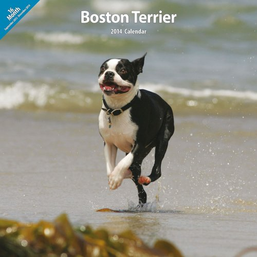Boston Terrier 2014 Wall Calendar - Dogs 2014 Wall Calendar