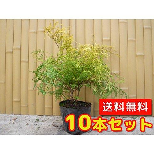 【ノーブランド品】フィリフェラオーレア樹高0.3m前後15cmポット【10本セット】 B00W4VWZ9M