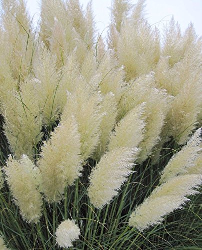 White pampas grass Cortaderia selloana 100 seeds * Showy * Ornamental