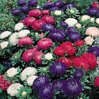 (Outsidepride Aster Milady Flower Seed Mix - 1000 Seeds)