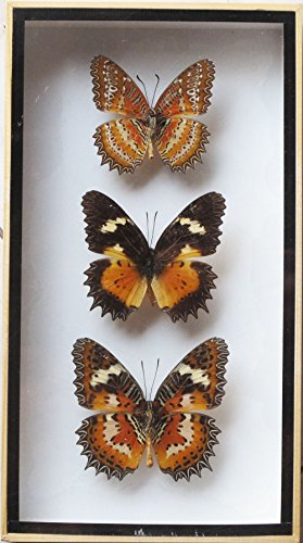 LUXURY BOX VERY RARE REAL 3 LACEWING BUTTERFLY DISPLAY INSECT TAXIDERMY