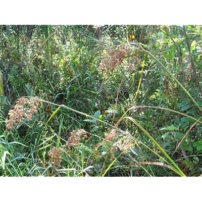 Wool Grass, 6' Tall Pond Water Plant, 450 Seeds! : Garden & Outdoor