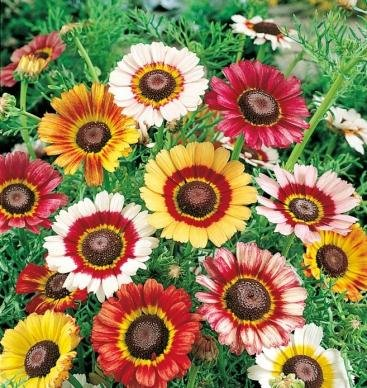 David's Garden Seeds Flower Daisy Painted DGSDAL114KD (Multi) 500 Open Pollinated Seeds