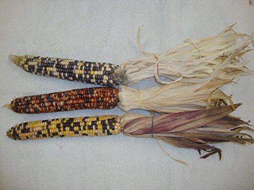 Indian Corn - 2