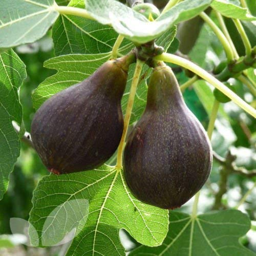 Potted Fruit Plants - Brown Turkey Fig Tree Live Fruit Plant Fully Rooted Potted 7-10 Inches Cold Hardy Organic Pollinated Rare Exotic Grown from Cutting 8-12 Months Old (2 Plant Pack)