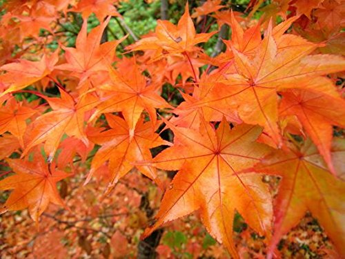 Hogyoku Japanese Maple One of The Best Maples For Fall Color 1 - Year Live (Pruning Japanese Maple Trees)