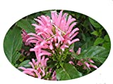 PINK Brazilian Plume Perennial Plant Flower Justicia carnea Jacobina 4 Inch Pot Emeralds TM