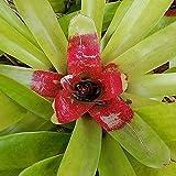 blushing bromeliad Neoregelia carolinae live large plant