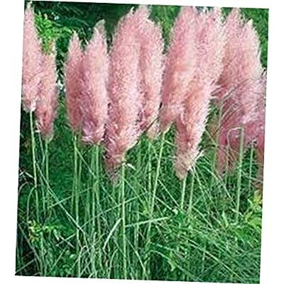 WWY 100 Pcs Seeds Pampas Grass Pink (Cortaderia selloana) - RK79 : Garden & Outdoor
