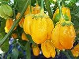 7 Pot Bubblegum Yellow Chile Seeds