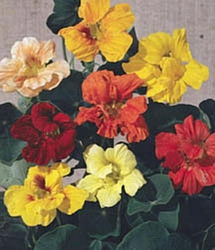 Nasturtium Tropaoleum Gleam Mix Annual Seeds ()