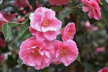 'Silver Anniversary' 'Donation' Shrubs 3 x Camellia Japonica 'RL Wheeler'