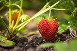 Evie Strawberry Plants, Non GMO