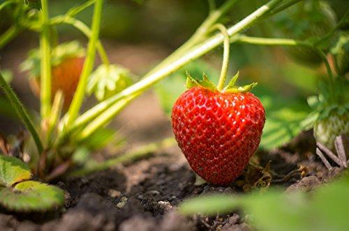 Evie Strawberry Plants, Non GMO by MW119