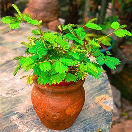 20 PCS Seeds Green Boston Ivy Bonsai Plants Home Garden Decoration Plants NEW Y