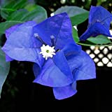 Solution Seeds Farm Rare Heirloom Blue Bougainvillea Spectabilis Willd Bonsai Seeds,200 Seeds