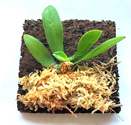 Miniature Orchid: Sedirea - Collection Japonica