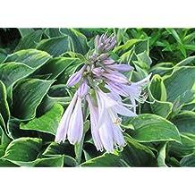 Japanese giboshi is a genus of plants .: Hosta