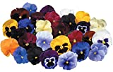 Burpee Atlas Mix Pansy Seeds 35 seeds