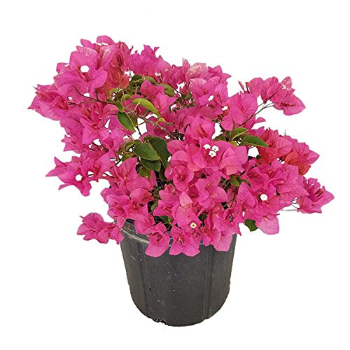 Best Climber plants -Bougainvillaea