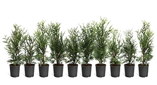 Thuja Green Giant Trees - Large, Tall Evergreen Trees for Instant Privacy! - Oversize Arborvitae Thuja Green Giants (10 Plants (1-2 feet Tall)) by Brighter Blooms (Image #4)