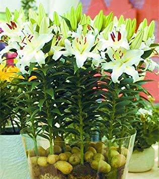 Fash Lady True Lily Bulbs Perfume Lily (Semillas de no Azucena) Bonsai Bulbos de Flores Alta germinación Lilium Bulbos...