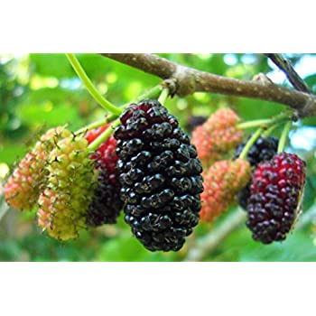 Mulberry Fruit Pictures