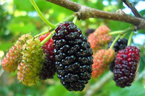 10 Red/Black Mulberry Tree Cuttings - Grow your own food for fun or function. Indoor/Outdoor Tree Plants - Organic Fruit Tree by Sweet Berry Tree