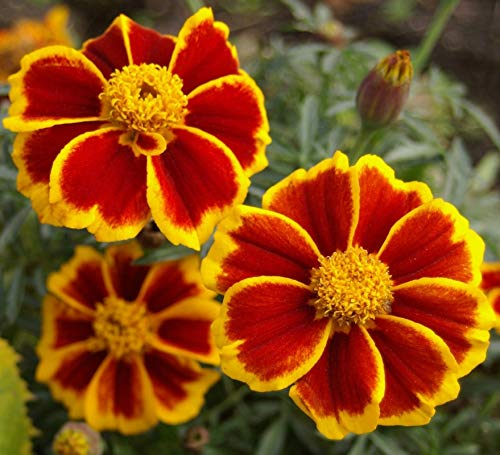Seeds Marigolds Tagetes Red Yellow Flower Balcony Annual Garden Organic Ukraine