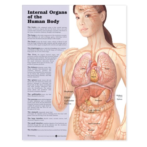 Amazon Internal Organs Of The Human Body Anatomical Chart