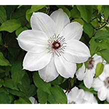 "Henryi Clematis Vine - Pure White - 2.5"" Pot"