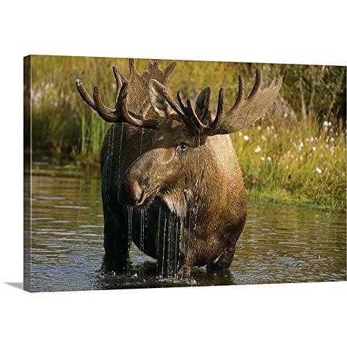 GREATBIGCANVAS Gallery-Wrapped Canvas Entitled Bull Moose in Pond, Denali National Park, Alaska by Harry Walker 60