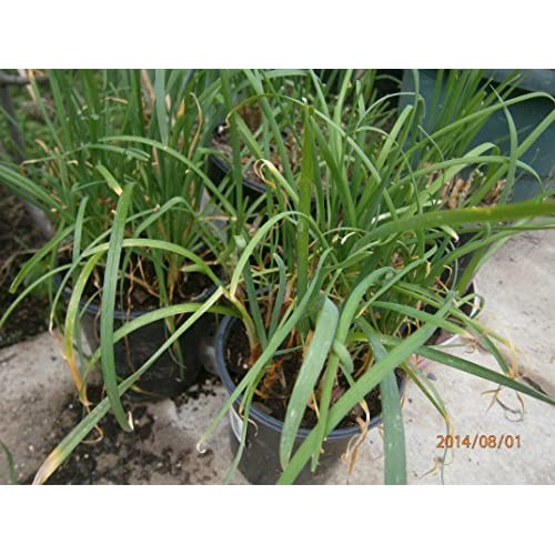 """New Chives (May also called Chinese Leek, Gui Chai"""" and/or Broad Leaved Nira-Vietnamese called """"He"""") Rooted 1 QT -PRIORITY SHIPMENT for sale"""