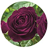Twilight Zone Rose Bush Reblooming Purple Fragrant Rose Grown Organic Potted - Own Root Easy to Grow Stargazer Perennnials