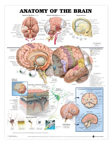wolters-kluwer-health-anatomy-of-the-brain-chart-20-w-x-26-h
