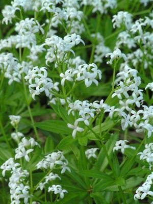 Sweet Woodruff > Galium odoratrum > Landscape Ready 1 gallon Container