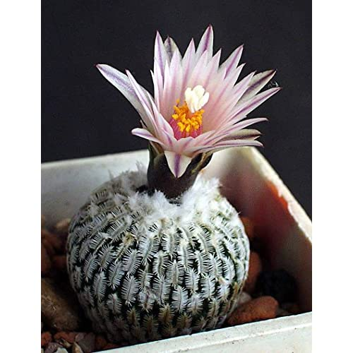 Discount Chinis 20 Seeds cactus seed, Turbinicarpus mixed Succulent plant bonsai plant free shipping