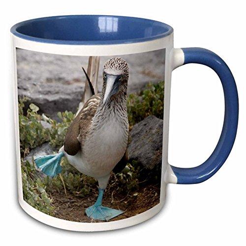 3dRose 86141_6 Ecuador Galapagos Islands Blue-Footed Booby-SA07' Ceramic Mug, Blue/White