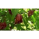 Trinidad Chocolate 7 Pot Douglah - Might Be the