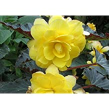 The yellow Begonia is a genus of perennial flowering plants .