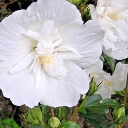Amazoncom 30 White Chiffon Rose Of Sharon Seeds Hibiscus