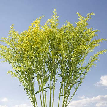 GlobalRose 120 Fresh Cut Aster Solidago Flowers - Fresh Flowers Wholesale Express Delivery by GlobalRose (Image #4)