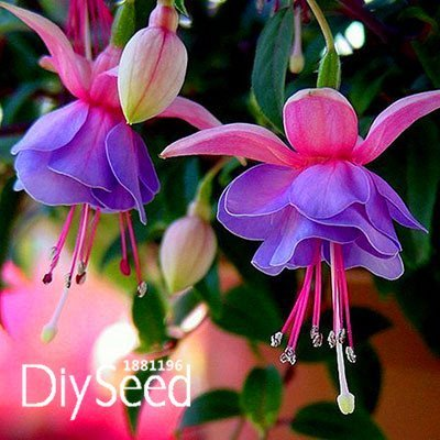 Amazon salepink purple bell flowers fuchsia seeds potted pink purple bell flowers fuchsia seeds potted flower seeds plants hanging fuchsia flowers 50 mightylinksfo