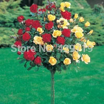 100pcs rare flower Rose tree Seeds, DIY Home Garden Potted, Balcony & Yard Flower Plant : Garden & Outdoor