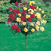 100pcs rare flower Rose tree Seeds, DIY Home Garden Potted ,Balcony & Yard Flower Plant