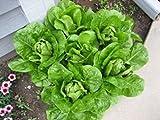 3000 PARRIS ISLAND COS ROMAINE LETTUCE Lactuca Sativa Vegetable Seeds