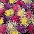 50 OSTRICH PLUME ASTER Mixed Color Feather Spider Michaelmas Daisy Callistephus Chinensis Flower Seeds *Comb S/H